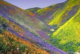 Wild foliage threatens Himalayan bloom