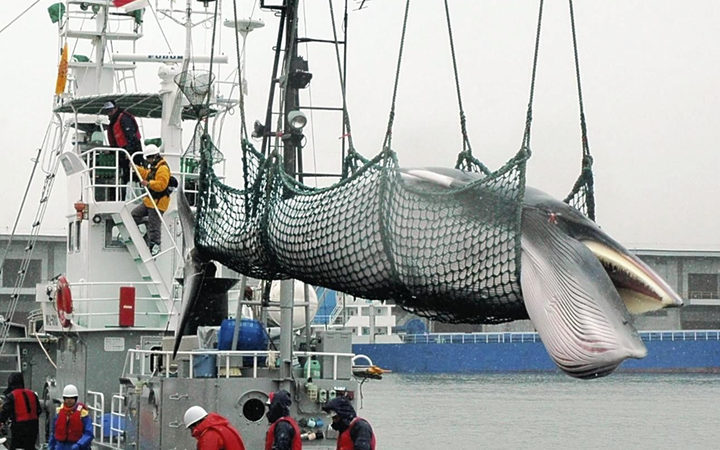 Japan's decision of Whaling ripples