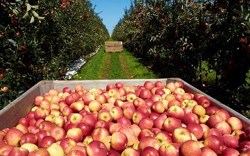 Labour shortage rots fruits in Hawke's Bay